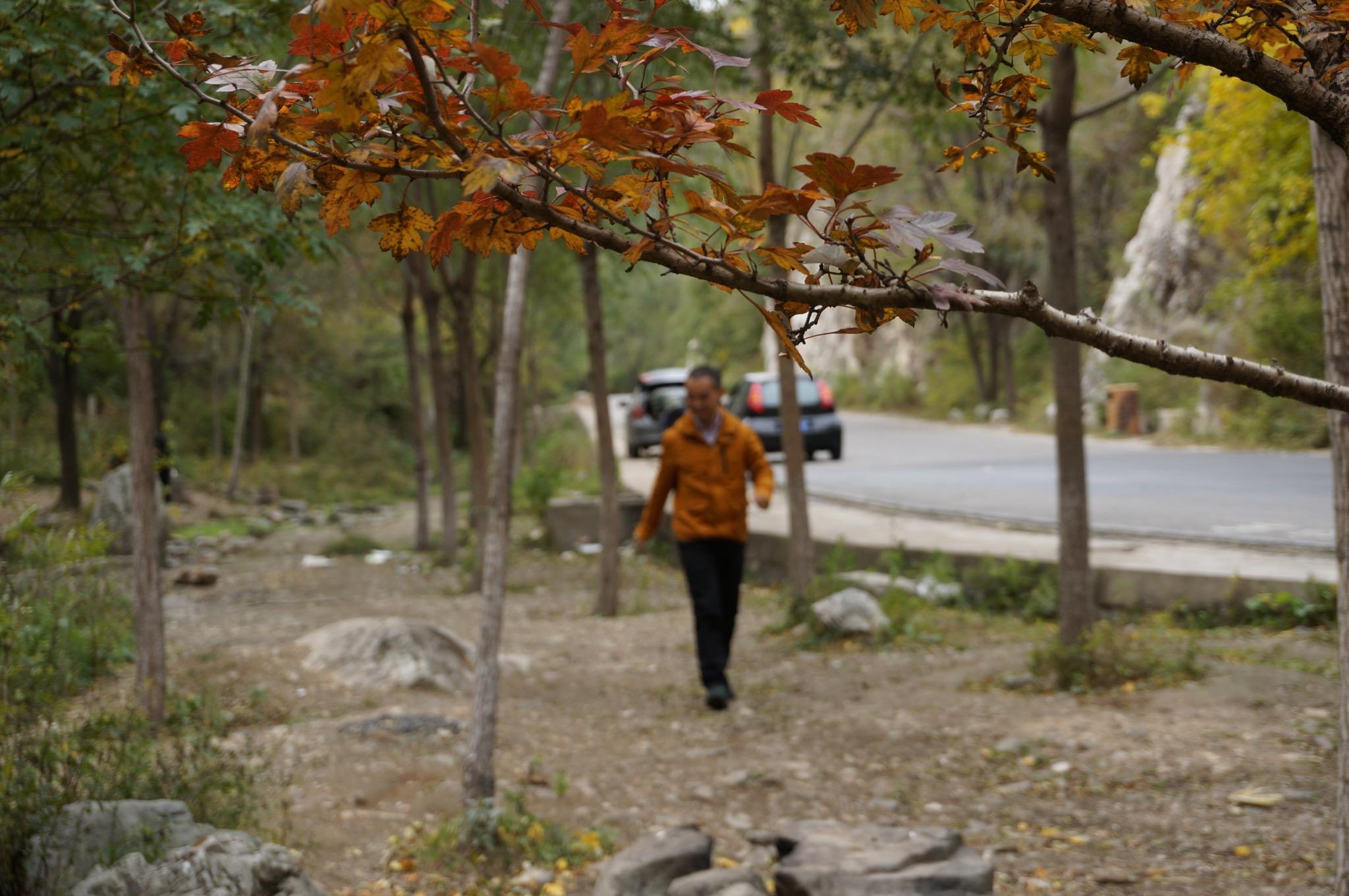 深秋的银杏叶