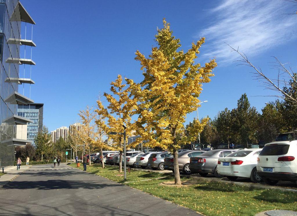 午饭后的大厦南门:蓝天、白云、银杏树
