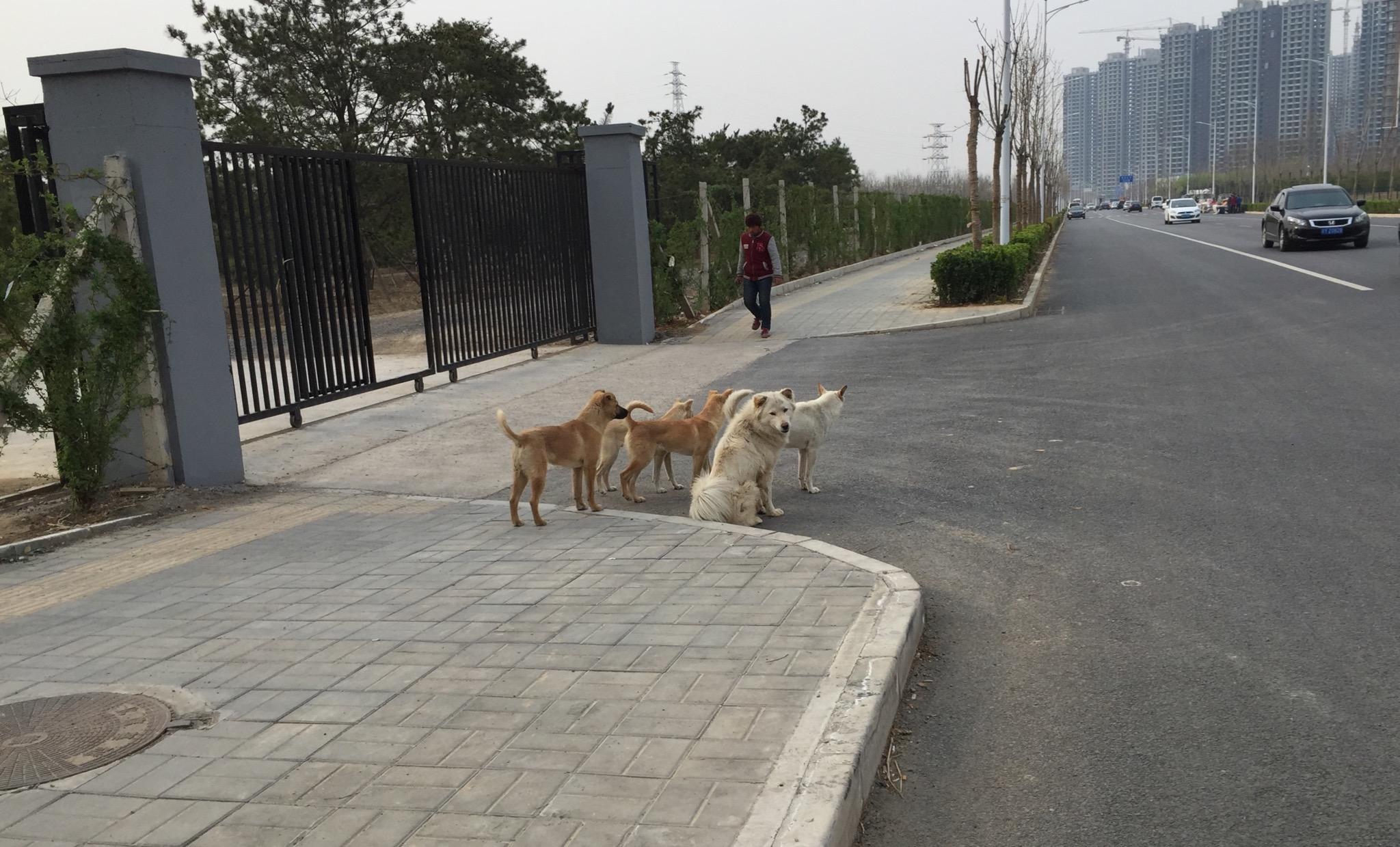 路遇狗群,不知道是不是流浪狗