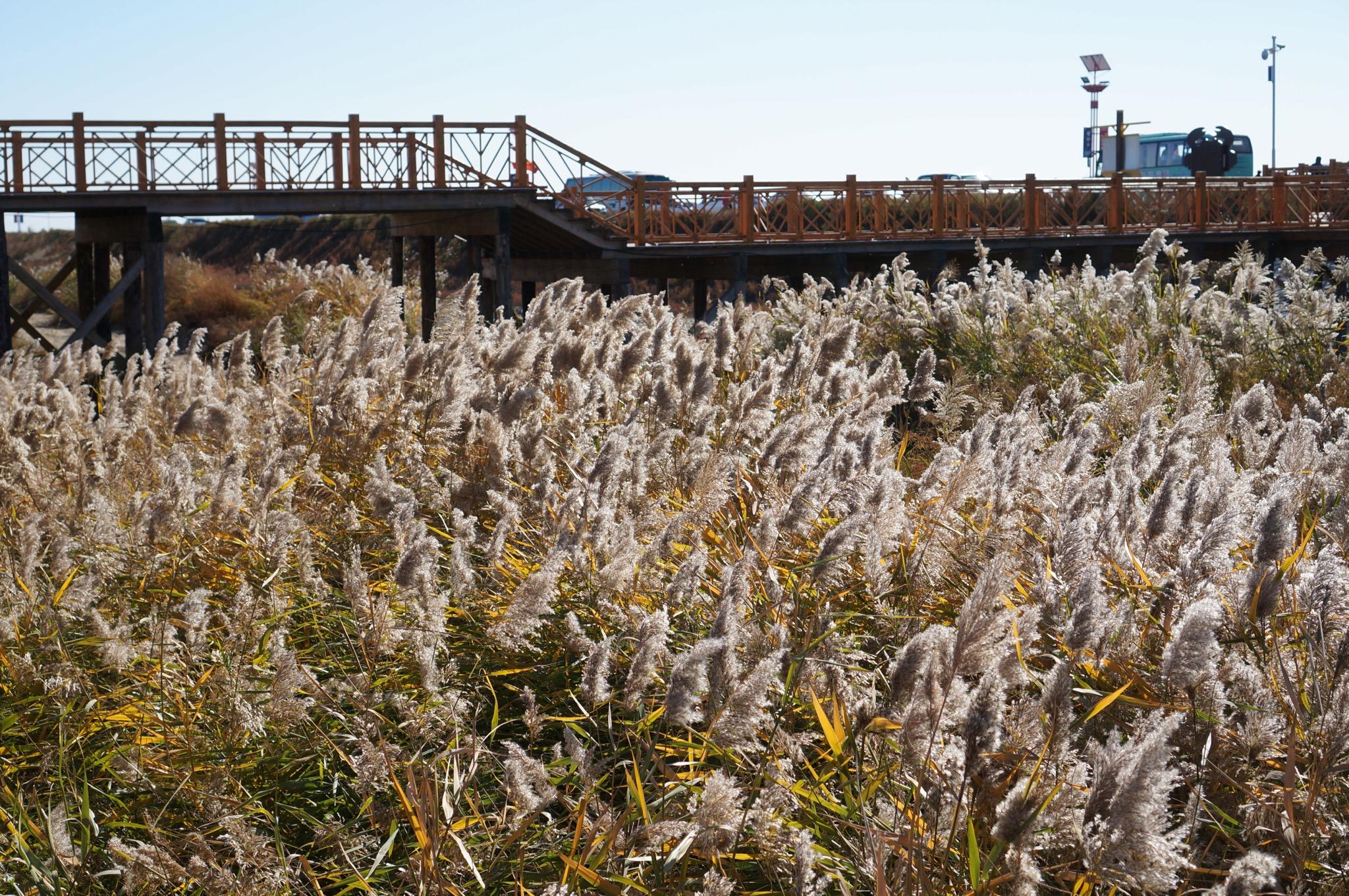 麦田外围的芦苇