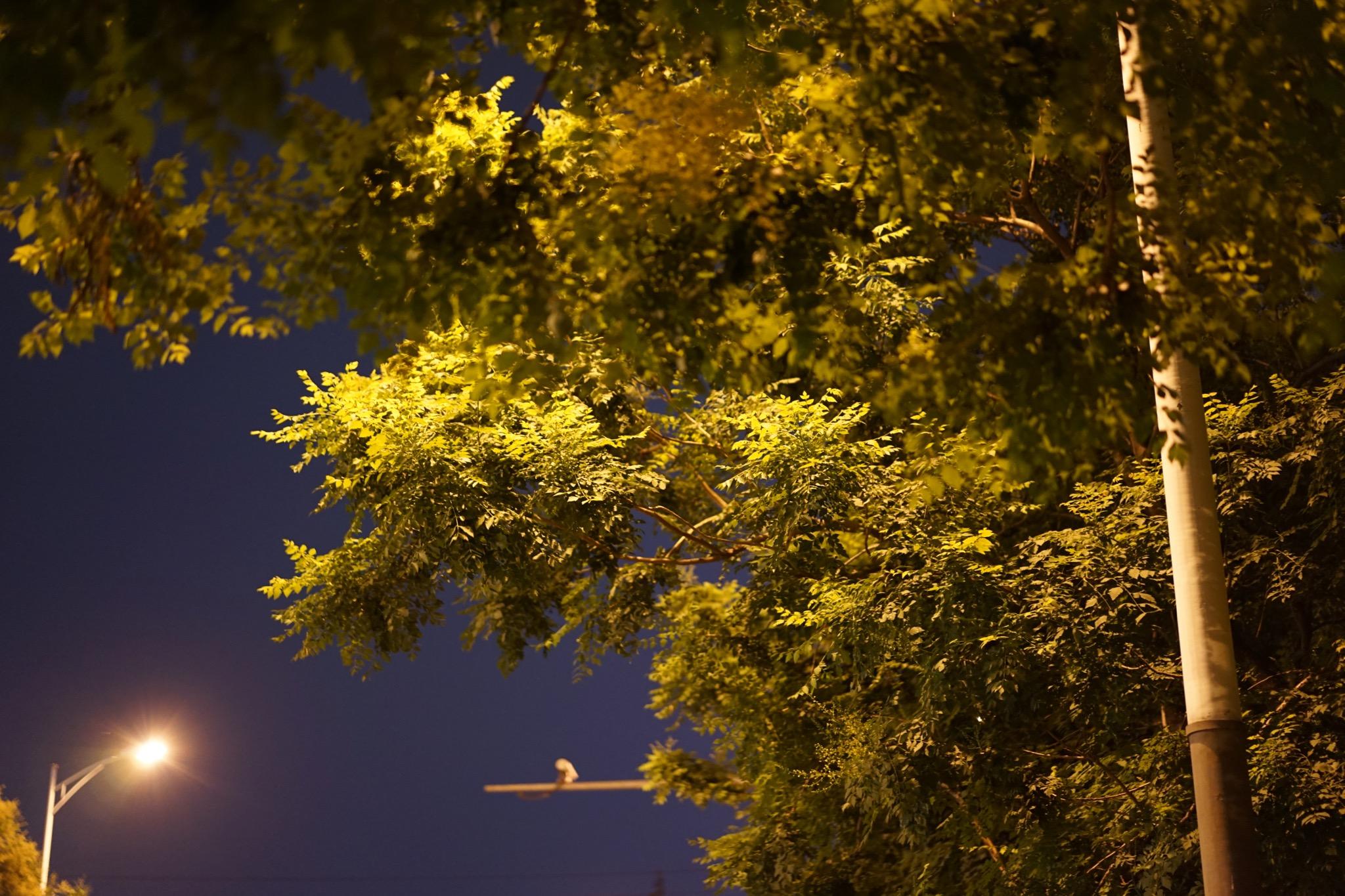 西二旗大街上的树