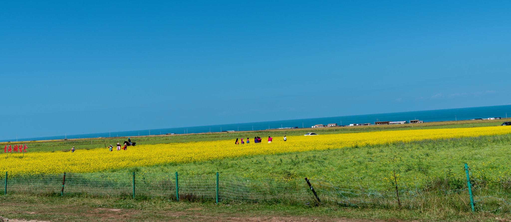 青海湖边的油菜花