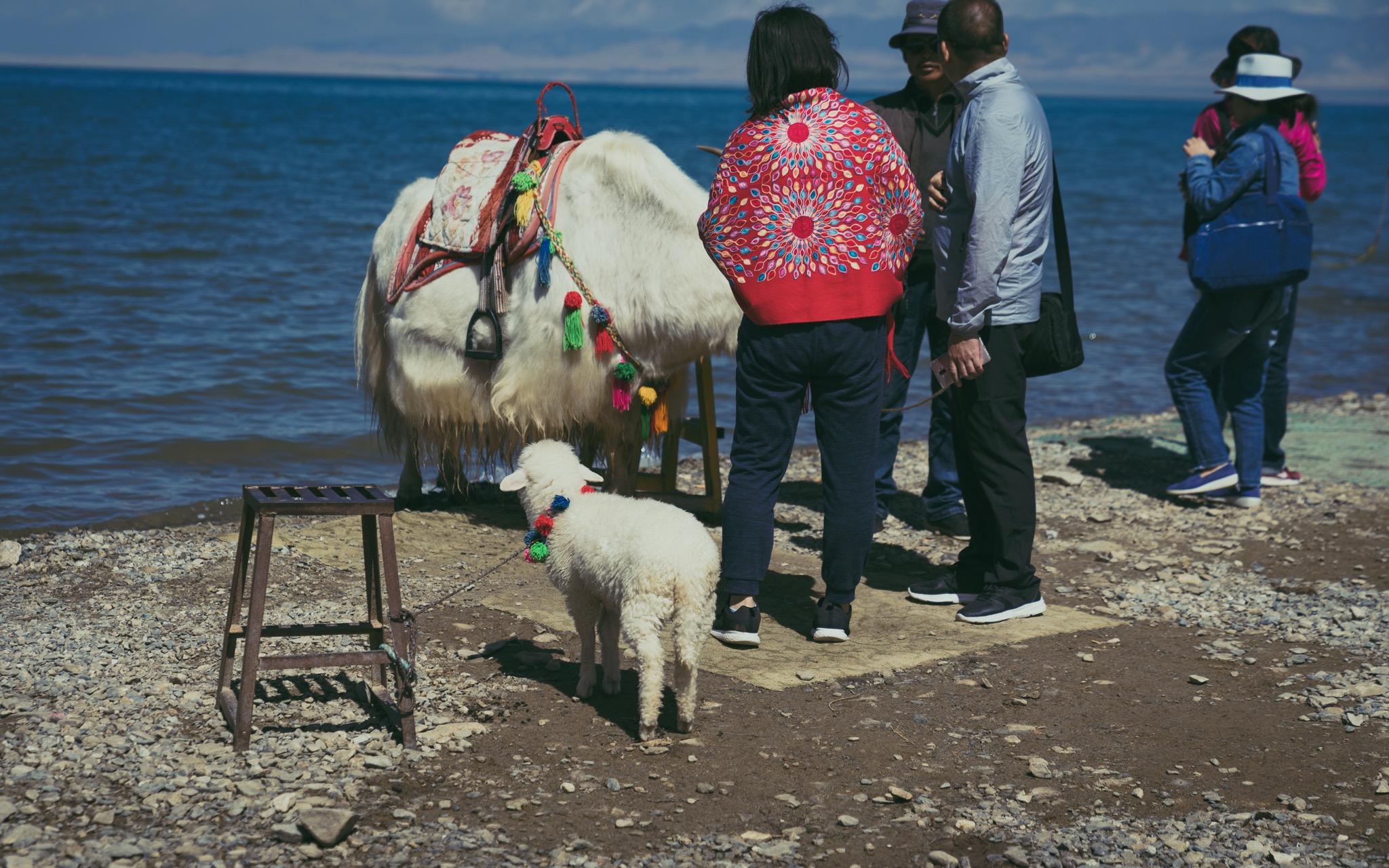 青海湖边可怜的小羊羔