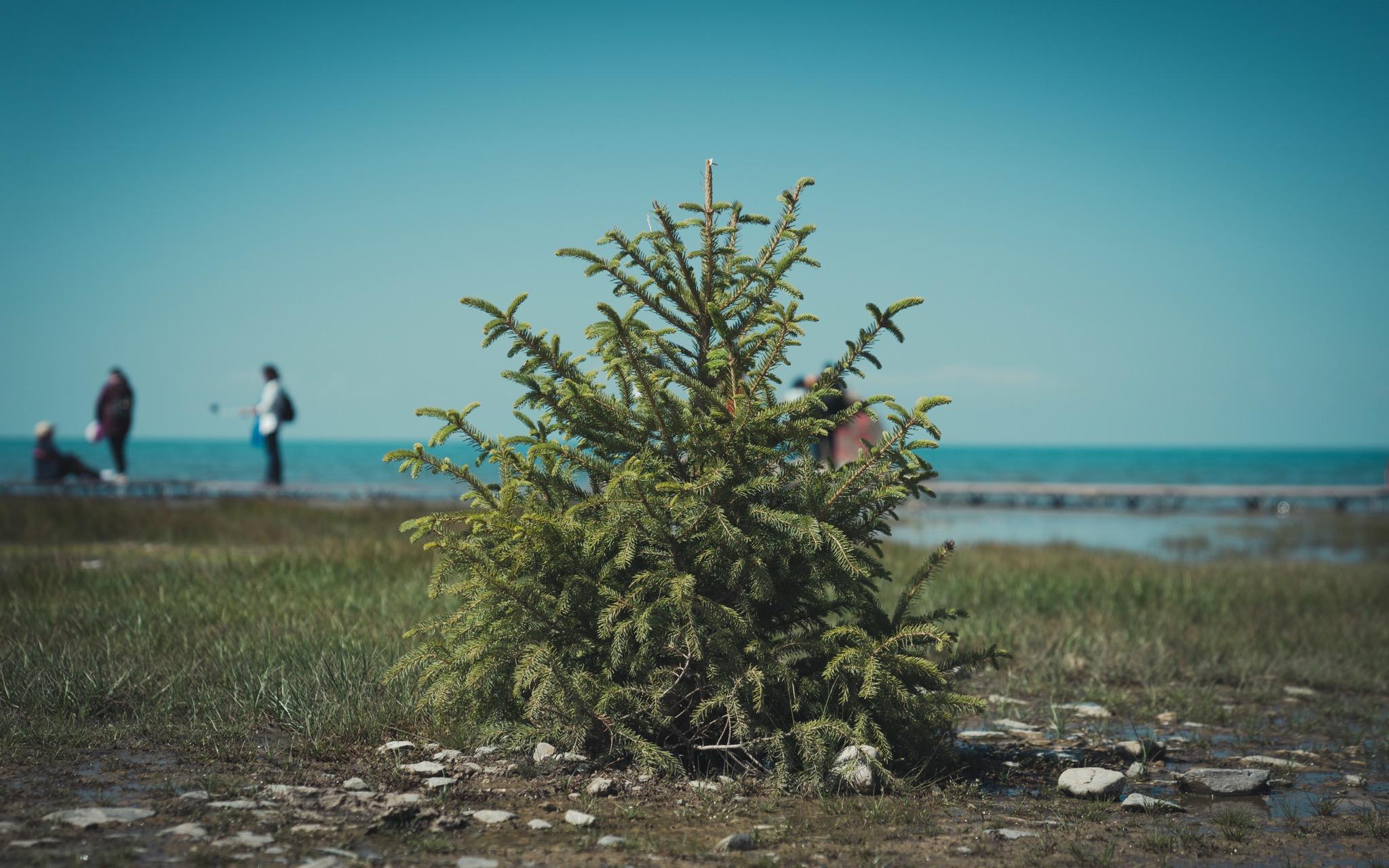 青海湖边的小草