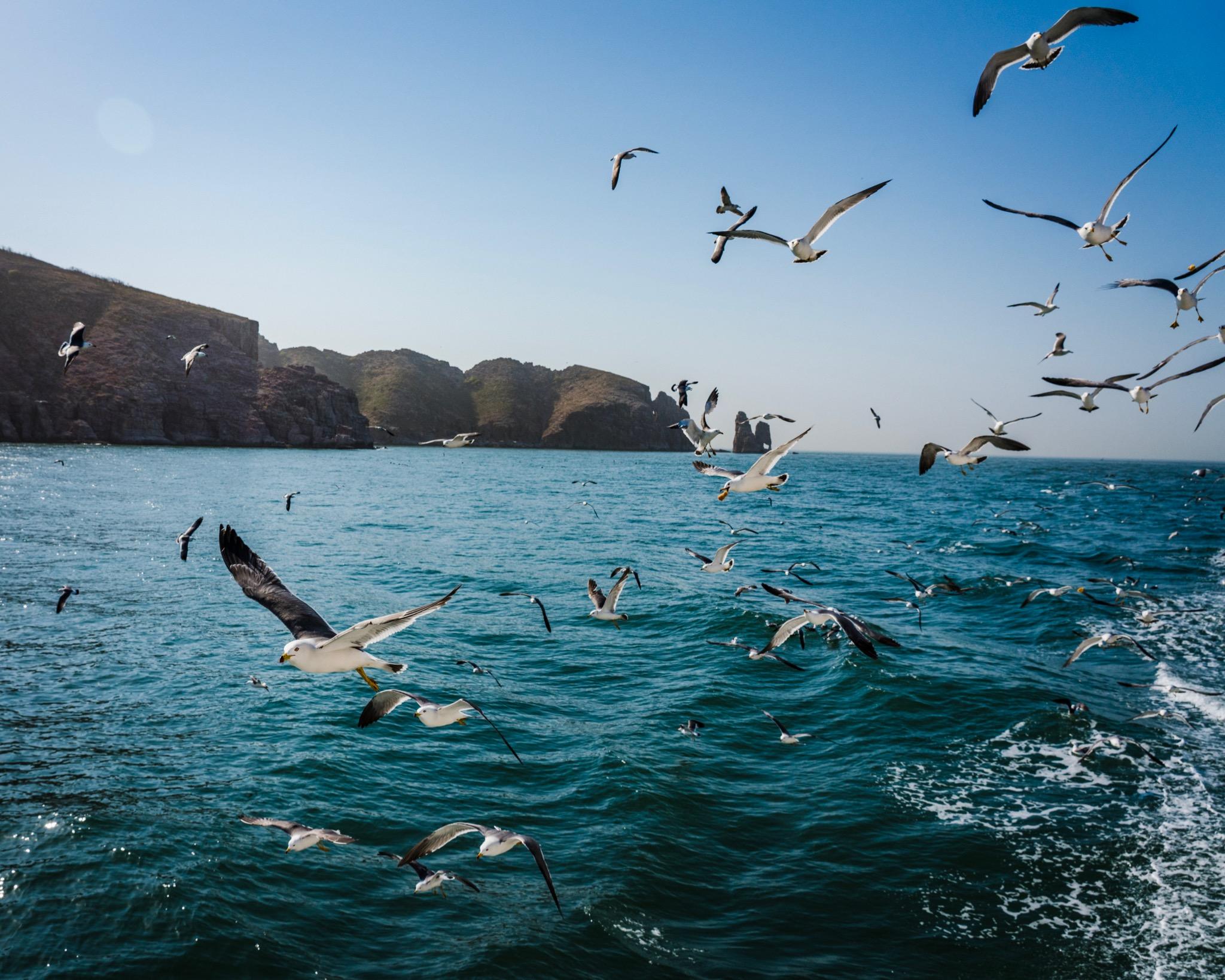 尾随的海鸥